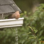Morning Dove in the Rain